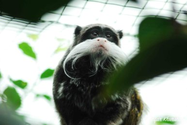 A rather sad-eyed Emperor Tamarin