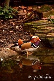 A Mandarin Duck at London Zoo