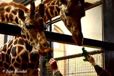 Giraffes at the London Zoo enjoying some greens